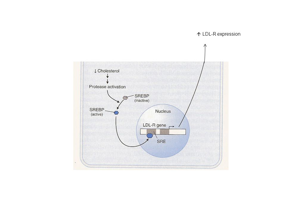 LDL-R expression