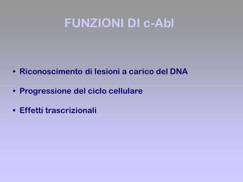 Riconoscimento di lesioni a carico del DNA Progressione del ciclo cellulare Effetti trascrizionali FUNZIONI DI c-Abl