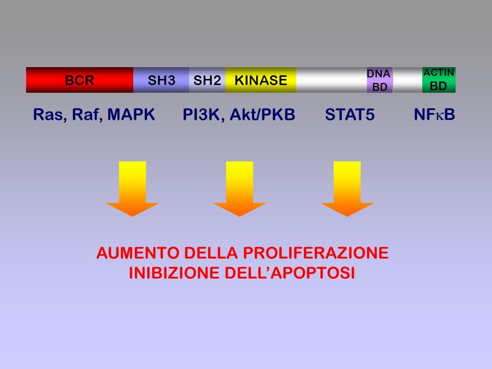 Ras, Raf, MAPK PI3K, Akt/PKBSTAT5 NF B AUMENTO DELLA PROLIFERAZIONE INIBIZIONE DELLAPOPTOSI SH3BCRSH2KINASE DNA BD ACTIN BD