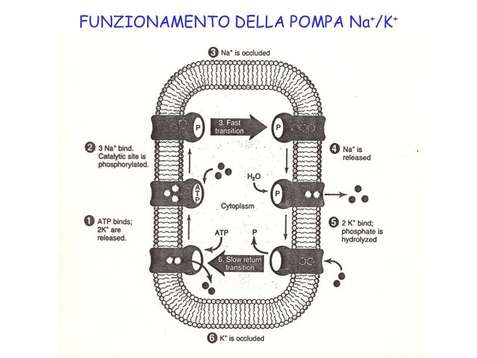FUNZIONAMENTO DELLA POMPA Na + /K +