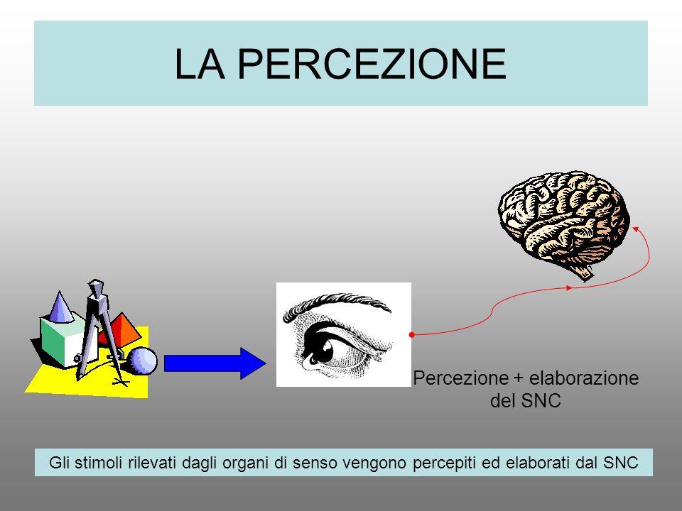 LA PERCEZIONE Percezione + elaborazione del SNC Gli stimoli rilevati dagli organi di senso vengono percepiti ed elaborati dal SNC