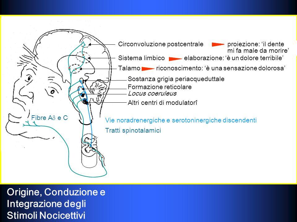 LHomunculs sensitivus (Wlder Penfield, 1950)