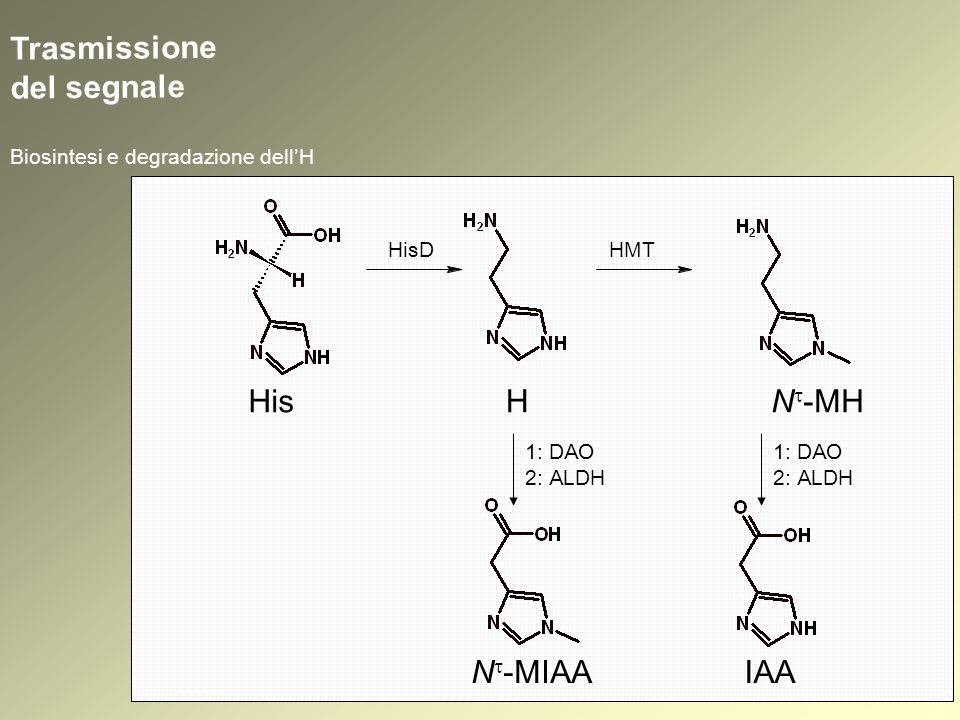 His Trasmissione del segnale Biosintesi e degradazione dellH H HisD HMT N -MH 1: DAO 2: ALDH N -MIAA 1: DAO 2: ALDH IAA