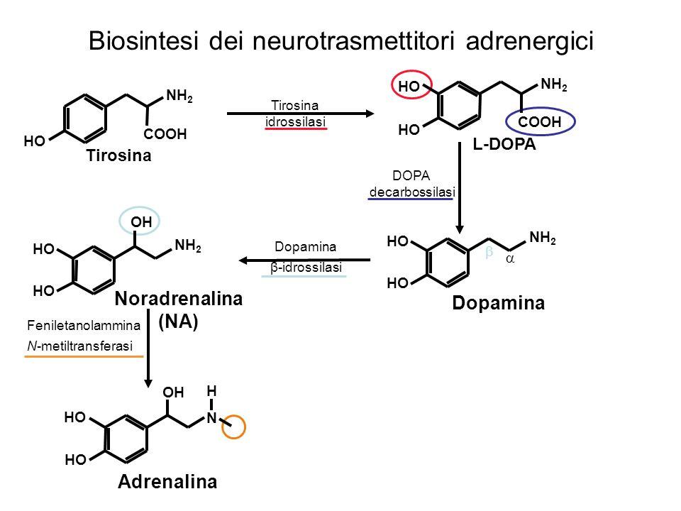 Biosintesi della Serotonina Triptofan 5-idrossilasi Triptofano N H NH 2 COOH 5-Idrossitriptofano N H NH 2 COOH HO N H NH 2 HO Decarbossilasi L-amminoacidi aromatici Serotonina o 5-idrossitriptamina (5-HT)