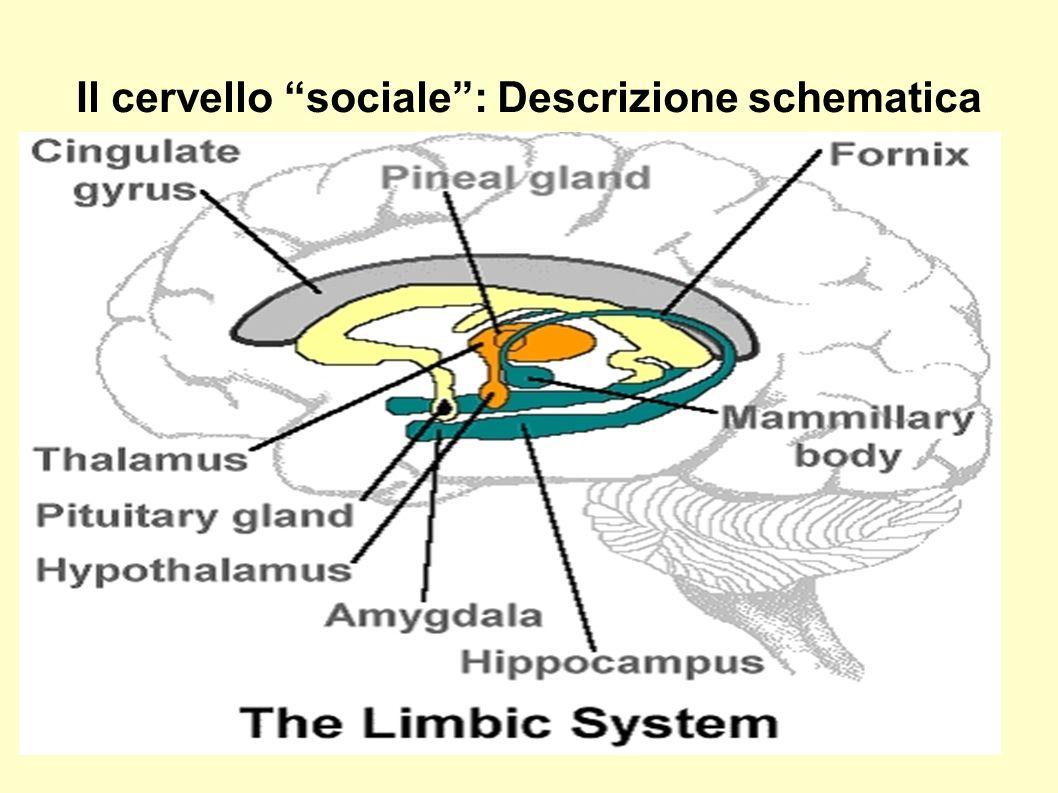 la corteccia cingolata e l insula possono essere considerate il quinto e il sesto lobo corticale CORTECCIA PRE- FRONTALE ORBITALE + INSULA+ CORTECCIA CINGOLATA = aree della corteccia evolutivamente più primitive, circondate dalle strutture corticali che si sviluppano successivamente INSULA+CORTECCIA CINGOLATA= implicate nelle nostre emozioni ed esperienze interne e conservano una profonda connessione con le strutture limbiche (primitive) AMGIDALA+IPPOCAMPO+IPOTALAMO= strutture sottocorticali basilari per l elaborazione delle informazioni sociali