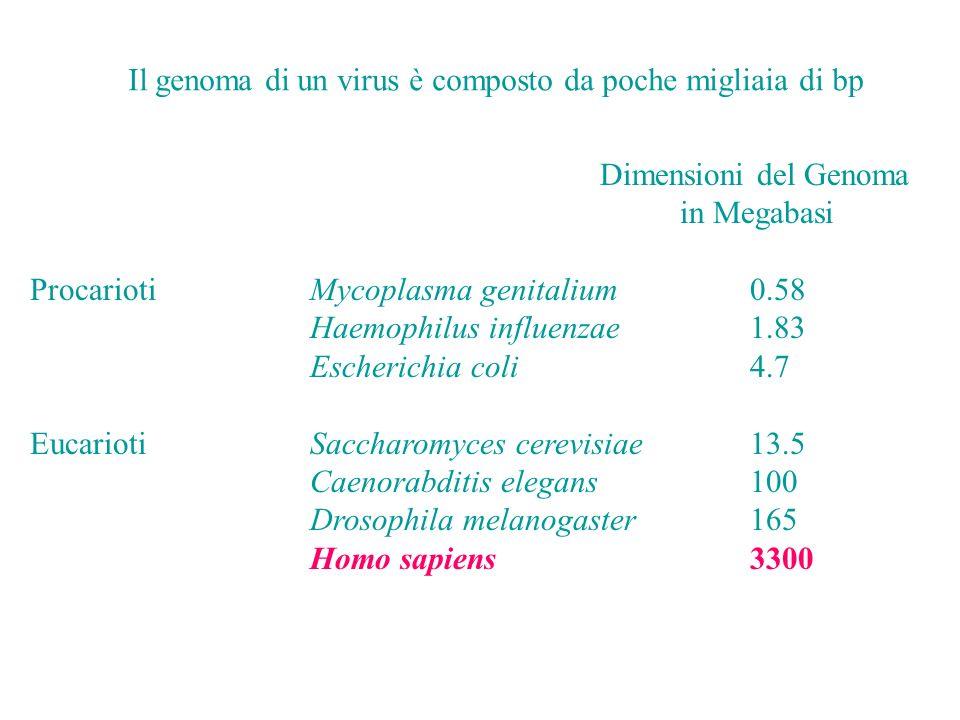 Dimensioni del Genoma in Megabasi ProcariotiMycoplasma genitalium0.58 Haemophilus influenzae1.83 Escherichia coli 4.7 EucariotiSaccharomyces cerevisiae13.5 Caenorabditis elegans100 Drosophila melanogaster165 Homo sapiens3300 Il genoma di un virus è composto da poche migliaia di bp