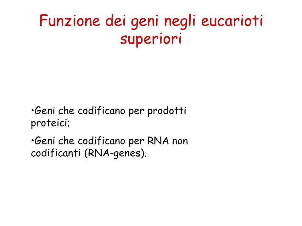 Funzione dei geni negli eucarioti superiori Geni che codificano per prodotti proteici; Geni che codificano per RNA non codificanti (RNA-genes).