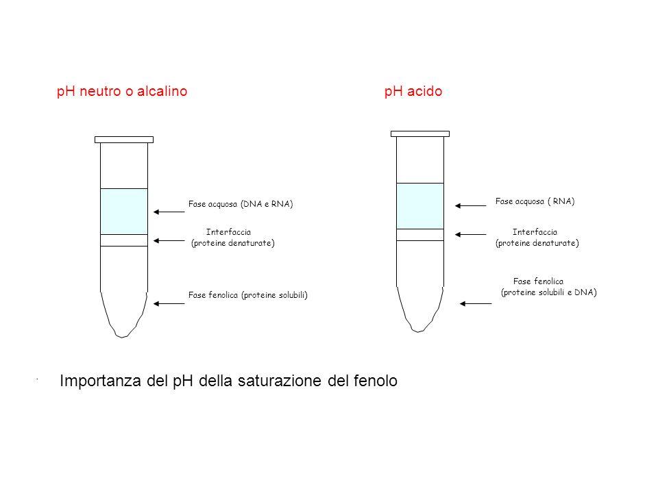 . pH neutro o alcalino Fase acquosa (DNA e RNA) Interfaccia (proteine denaturate ) Fase fenolica (proteine solubili ) pH acido Fase acquosa ( RNA) Int