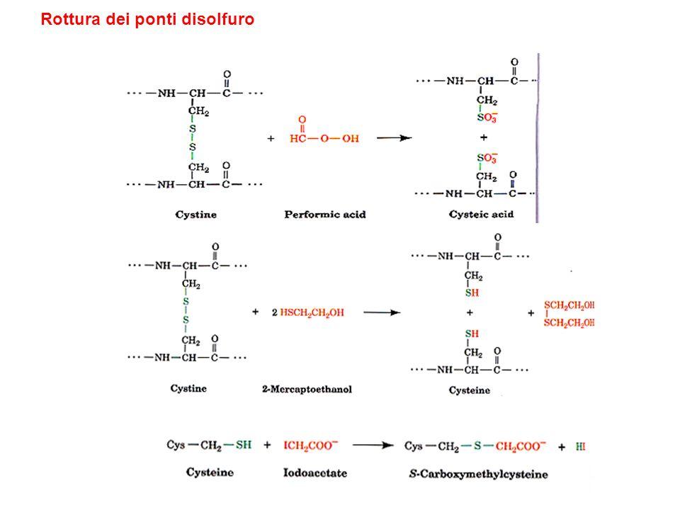 Determinazione della struttura primaria Metodo chimico –Degradazione di Edman Metodo basato sul DNA ricombinante
