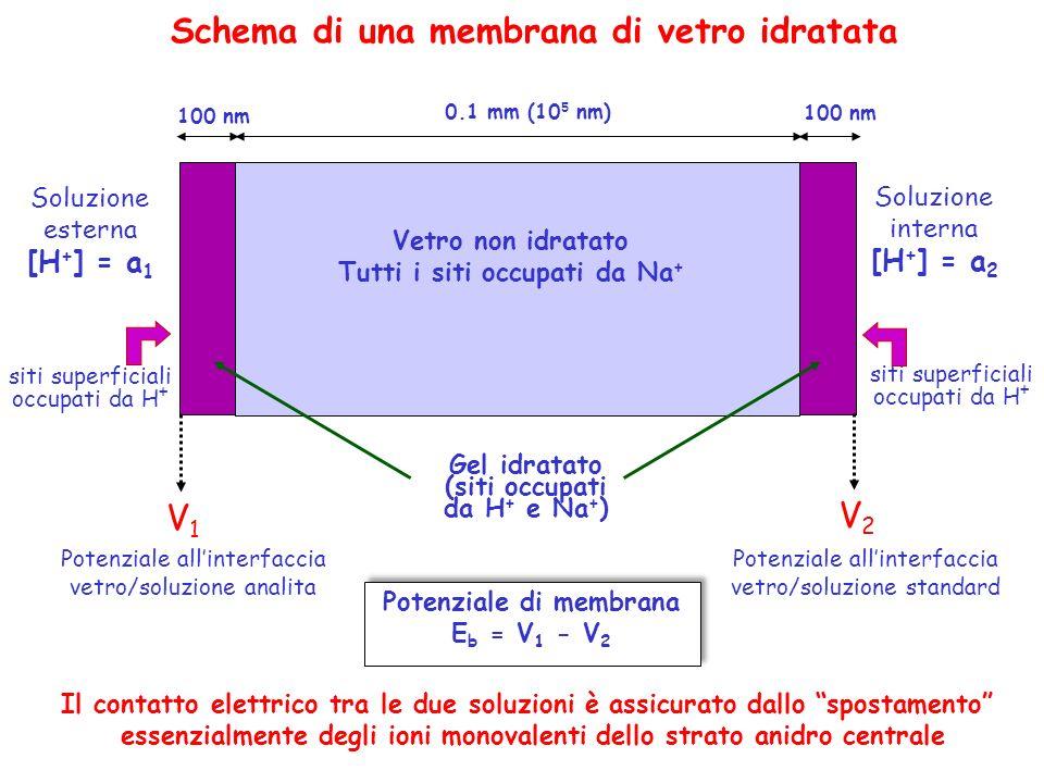 Schema di una membrana di vetro idratata Soluzione esterna [H + ] = a 1 Soluzione interna [H + ] = a 2 0.1 mm (10 5 nm) Vetro non idratato Tutti i sit