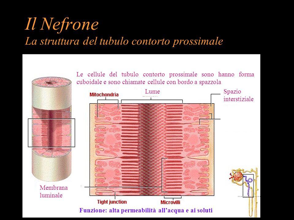 Il Nefrone La struttura del tubulo contorto prossimale Le cellule del tubulo contorto prossimale sono hanno forma cuboidale e sono chiamate cellule co