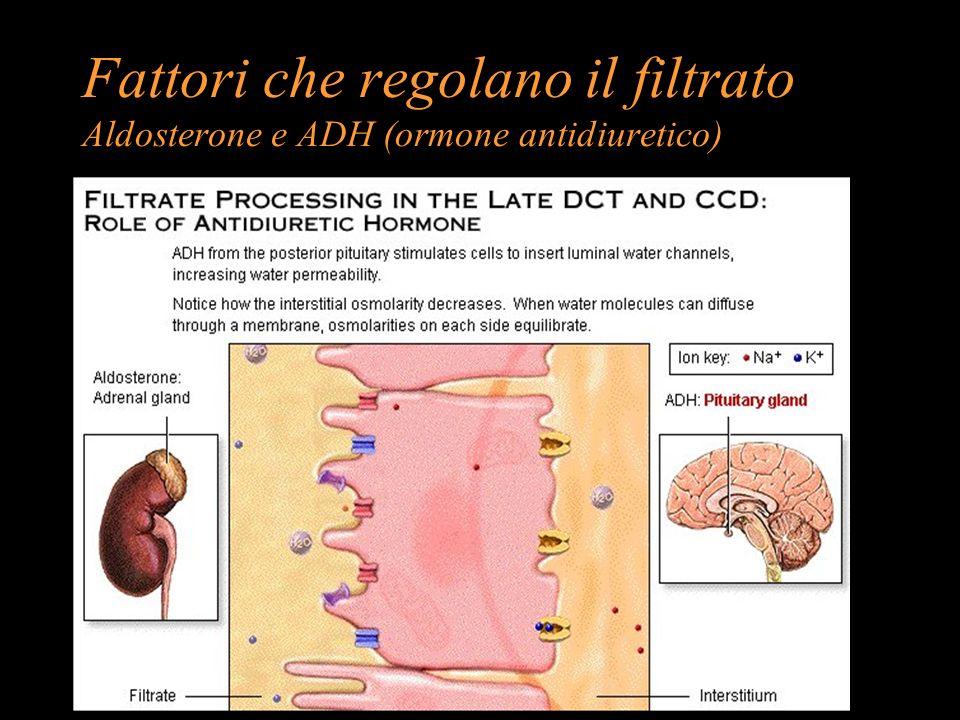 Fattori che regolano il filtrato Aldosterone e ADH (ormone antidiuretico)