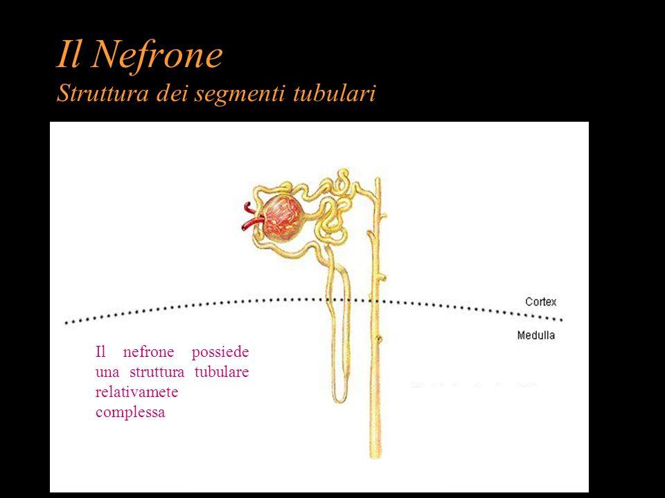 Il Nefrone Struttura dei segmenti tubulari Il nefrone possiede una struttura tubulare relativamete complessa