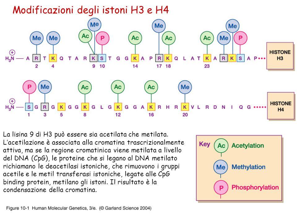 Modificazioni degli istoni H3 e H4 La lisina 9 di H3 può essere sia acetilata che metilata. Lacetilazione è associata alla cromatina trascrizionalment
