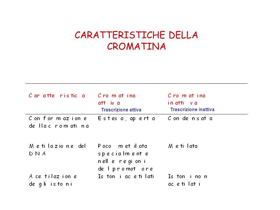 CARATTERISTICHE DELLA CROMATINA Trascrizione attiva Trascrizione inattiva