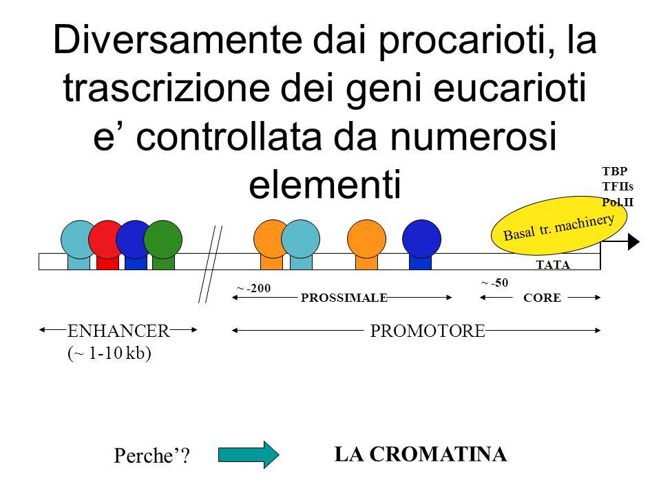 Diversamente dai procarioti, la trascrizione dei geni eucarioti e controllata da numerosi elementi TATA Basal tr.