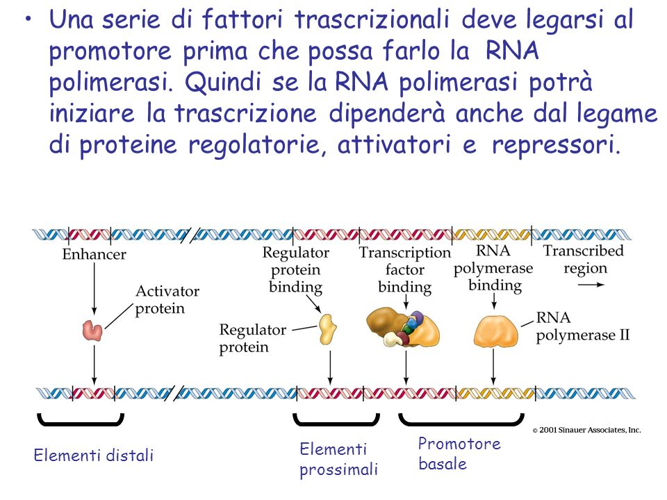 Elementi distali Elementi prossimali Promotore basale Una serie di fattori trascrizionali deve legarsi al promotore prima che possa farlo la RNA polimerasi.