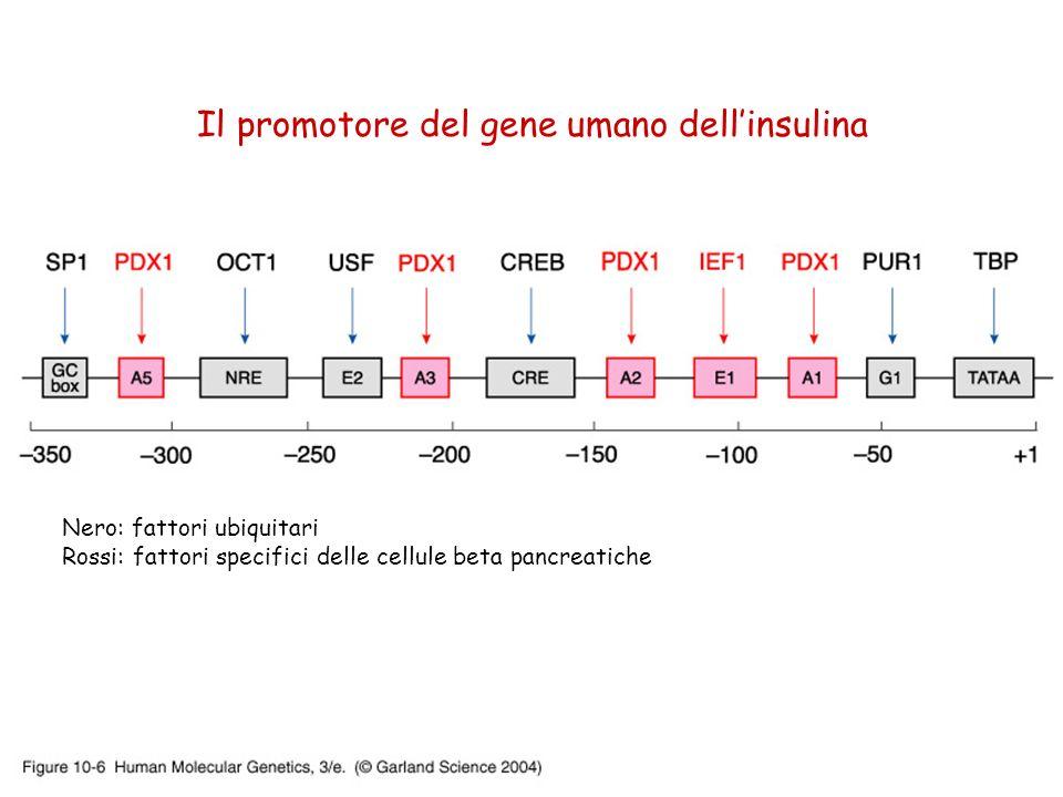 Il promotore del gene umano dellinsulina Nero: fattori ubiquitari Rossi: fattori specifici delle cellule beta pancreatiche