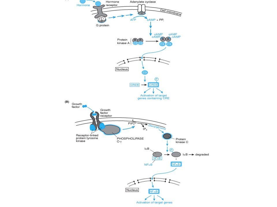 Consensus response element (RE)Response to:Protein factor which recognizes RE (T/G)(T/A)CGTCAcAMPCREB (also called ATF) CC(A/T)(A/T)(A/T)(A/T)(A/T)(A/T)GGSerum growth factorSerum response factor TTNCNNNAAAInterferon-gammaStat-1 TGCGCCCGCCHeavy metalsMep-1 TGAGTCAGPhorbol estersAP1 CTNGAATNTTCTAGAHeat shockHSP70, etc.