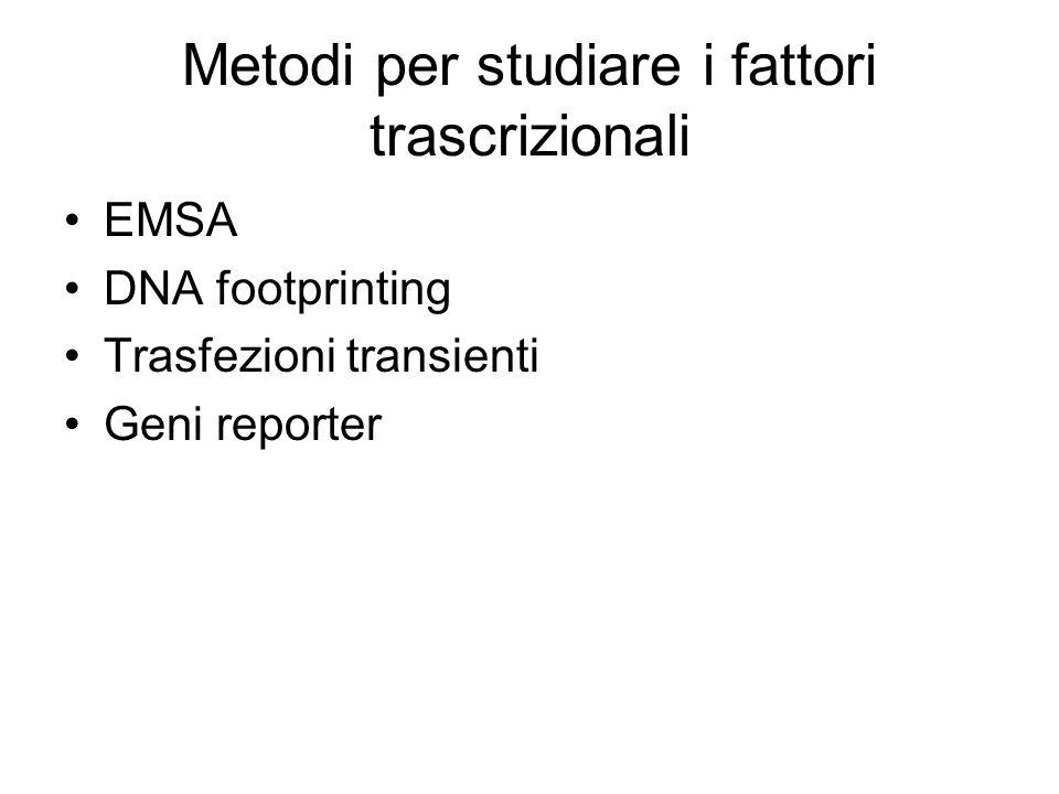 Metodi per studiare i fattori trascrizionali EMSA DNA footprinting Trasfezioni transienti Geni reporter