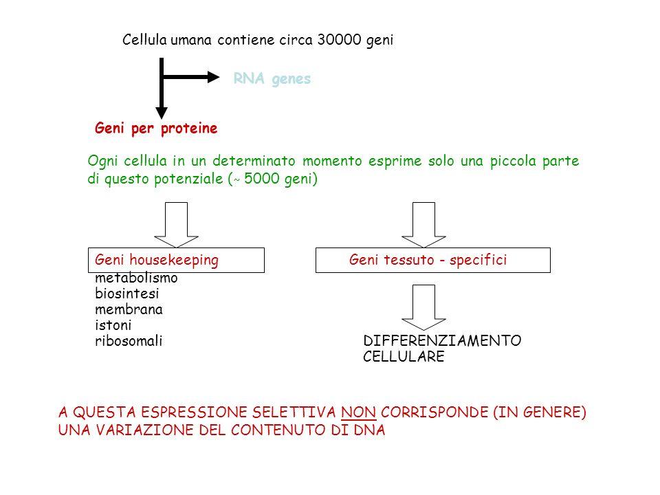 Cellula umana contiene circa 30000 geni RNA genes Geni per proteine Ogni cellula in un determinato momento esprime solo una piccola parte di questo potenziale ( ˜ 5000 geni) Geni housekeeping Geni tessuto - specifici metabolismo biosintesi membrana istoni ribosomali DIFFERENZIAMENTO CELLULARE A QUESTA ESPRESSIONE SELETTIVA NON CORRISPONDE (IN GENERE) UNA VARIAZIONE DEL CONTENUTO DI DNA