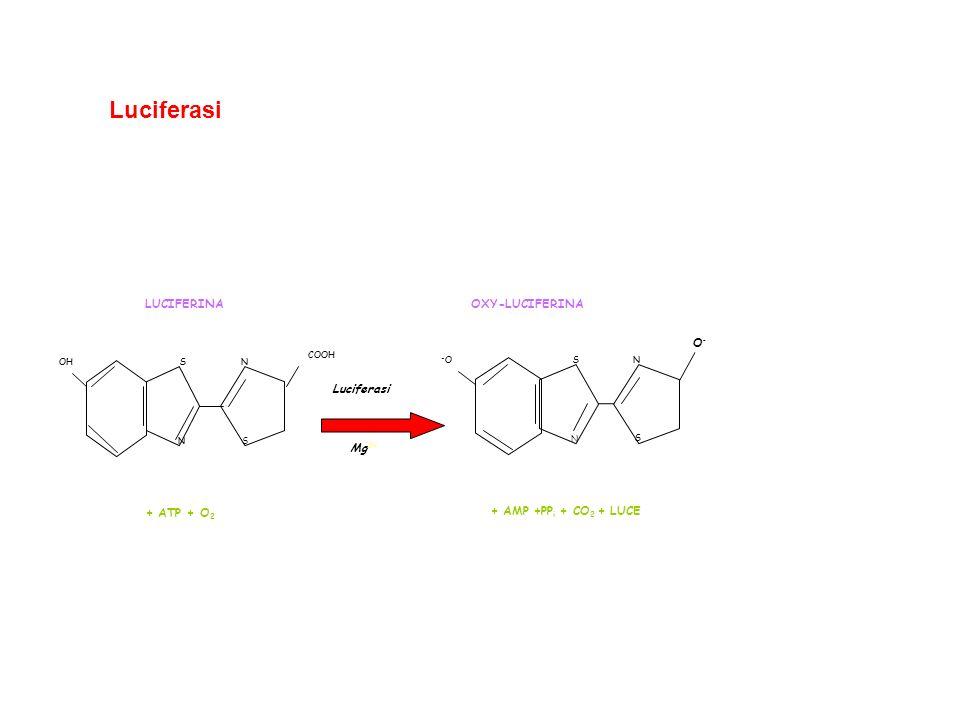 Mg 2+ Luciferasi N SN S OH COOH + ATP + O 2 LUCIFERINA N SN S -O-O + AMP +PP i + CO 2 + LUCE OXY-LUCIFERINA O-O- Luciferasi