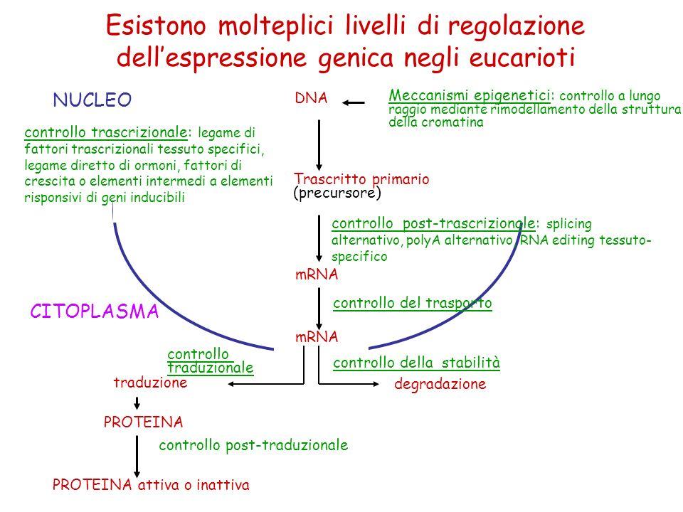 NUCLEO controllo trascrizionale: legame di fattori trascrizionali tessuto specifici, legame diretto di ormoni, fattori di crescita o elementi intermedi a elementi risponsivi di geni inducibili controllo post-trascrizionale: splicing alternativo, polyA alternativo, RNA editing tessuto- specifico controllo del trasporto mRNA controllo della stabilità degradazione traduzione PROTEINA controllo post-traduzionale PROTEINA attiva o inattiva DNA Meccanismi epigenetici: controllo a lungo raggio mediante rimodellamento della struttura della cromatina Trascritto primario (precursore) mRNA controllo traduzionale CITOPLASMA Esistono molteplici livelli di regolazione dellespressione genica negli eucarioti
