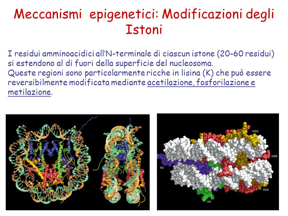 I residui amminoacidici allN-terminale di ciascun istone (20-60 residui) si estendono al di fuori della superficie del nucleosoma.