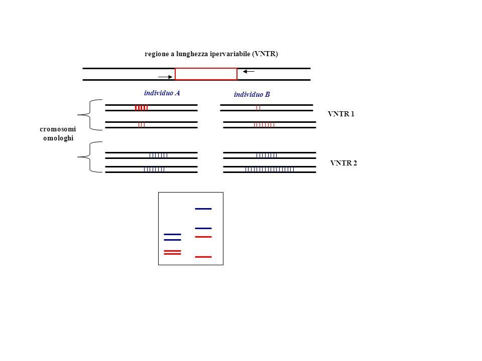 regione a lunghezza ipervariabile (VNTR) VNTR 1 VNTR 2 cromosomi omologhi individuo A individuo B