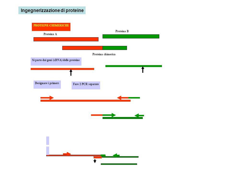 Proteina A Proteina B Proteina chimerica Si parte dai geni (cDNA) delle proteine Designare i primers PROTEINE CHIMERICHE Fare 2 PCR separate Ingegnerizzazione di proteine