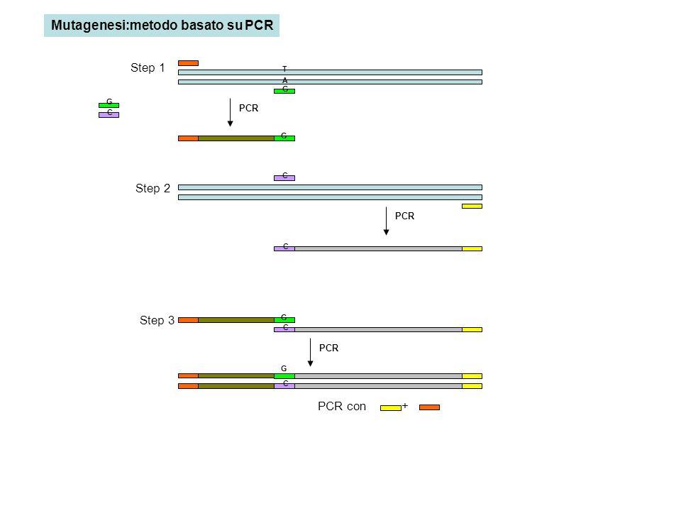 PCR A T G G G C C C G C G C PCR con + Step 1 Step 2 Step 3 Mutagenesi:metodo basato su PCR