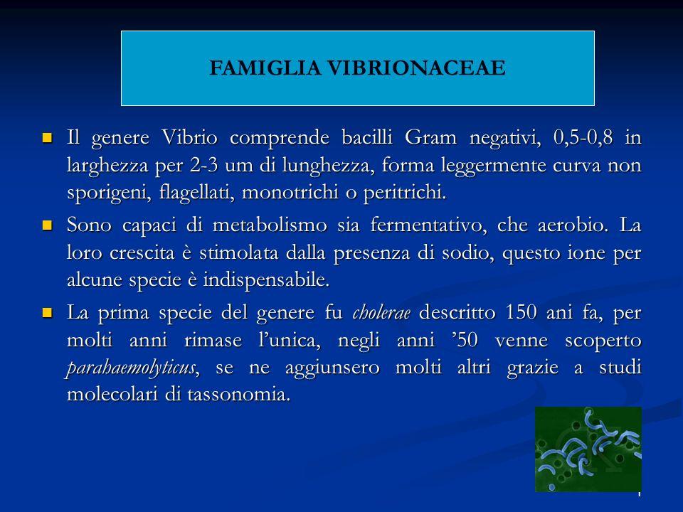 1 Il genere Vibrio comprende bacilli Gram negativi, 0,5-0,8 in larghezza per 2-3 um di lunghezza, forma leggermente curva non sporigeni, flagellati, m