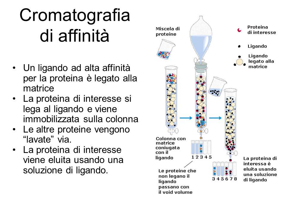 Cromatografia di affinità Un ligando ad alta affinità per la proteina è legato alla matrice La proteina di interesse si lega al ligando e viene immobilizzata sulla colonna Le altre proteine vengono lavate via.