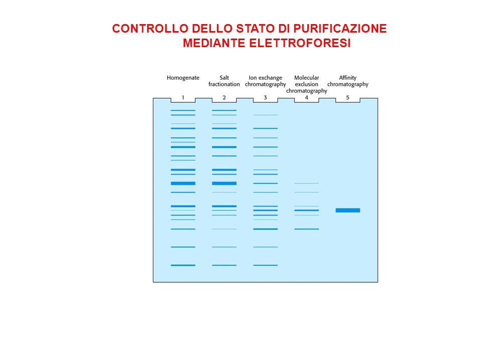 CONTROLLO DELLO STATO DI PURIFICAZIONE MEDIANTE ELETTROFORESI