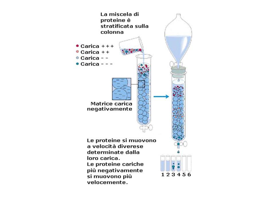 Una proteina sconosciuta eluisce a 170 mL: 40,000 Da (40KDa)