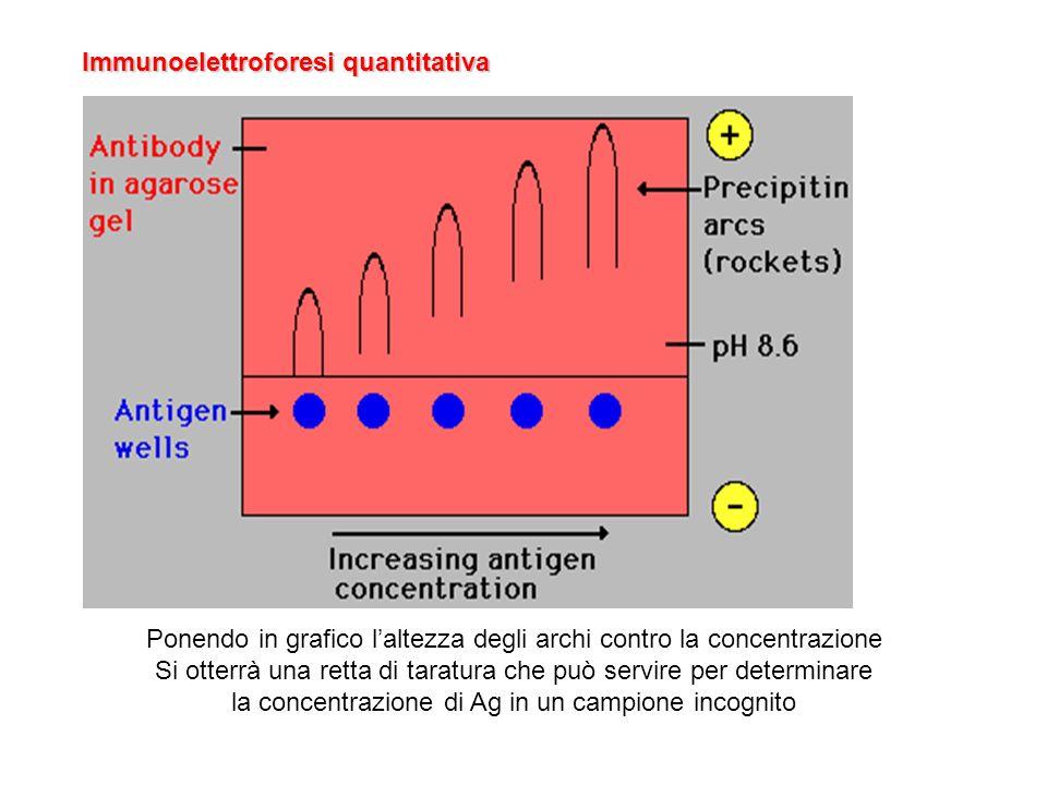 Immunoelettroforesi quantitativa Ponendo in grafico laltezza degli archi contro la concentrazione Si otterrà una retta di taratura che può servire per