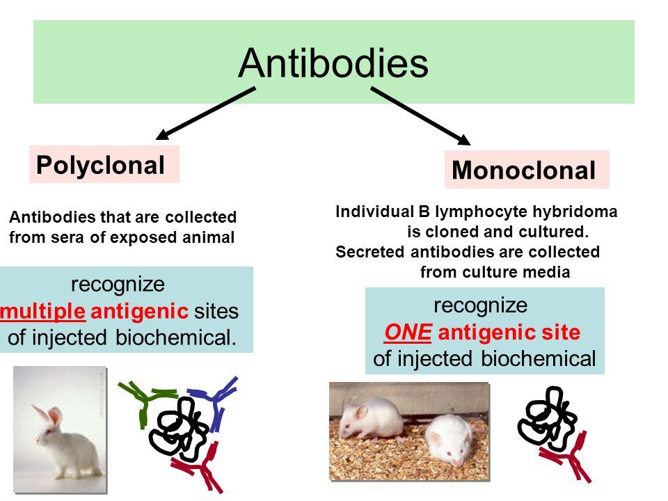 http://www.sh.lsuhsc.edu/ intragrad/micro/micro297/4 Xenomouse (topo con IgH e Igk umani) Abgenix