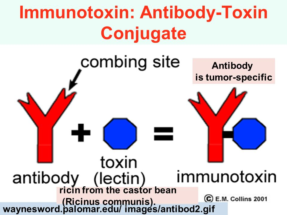Immunotoxin: Antibody-Toxin Conjugate waynesword.palomar.edu/ images/antibod2.gif ricin from the castor bean (Ricinus communis). Antibody is tumor-spe