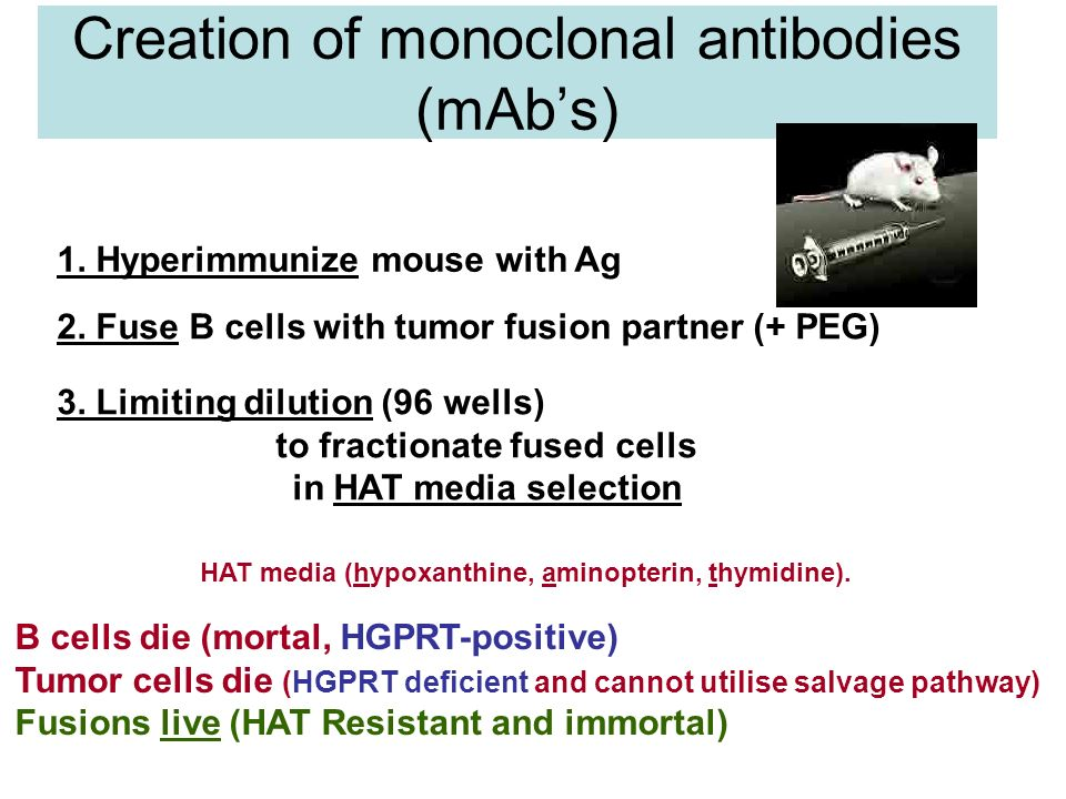 Immunotoxin: Antibody-Toxin Conjugate waynesword.palomar.edu/ images/antibod2.gif ricin from the castor bean (Ricinus communis).