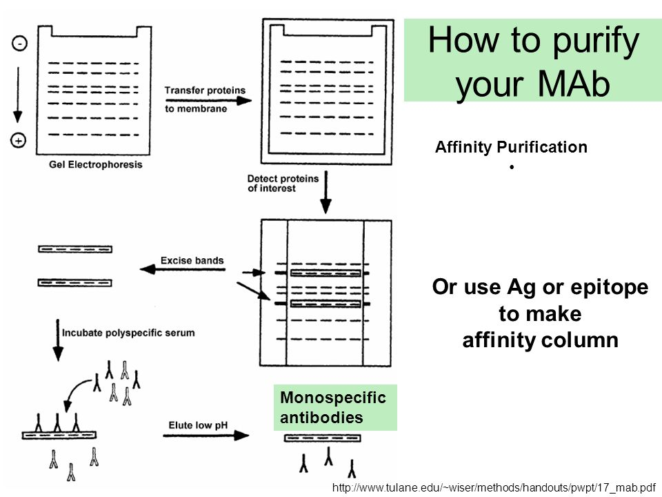 How to purify your MAb Monospecific antibodies Affinity Purification Or use Ag or epitope to make affinity column http://www.tulane.edu/~wiser/methods