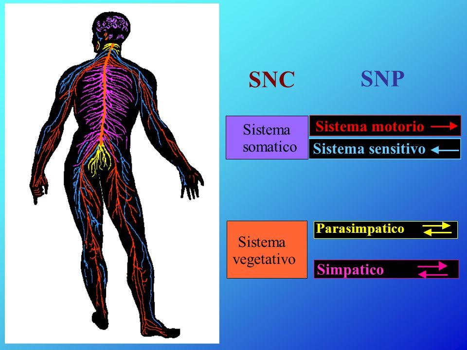 Sistema somatico Sistema vegetativo SNP Sistema motorio Sistema sensitivo Parasimpatico Simpatico SNC
