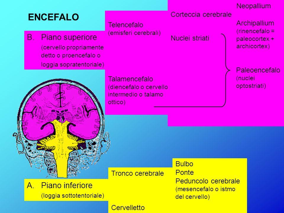 A.Piano inferiore (loggia sottotentoriale) Tronco cerebrale Cervelletto Bulbo Ponte Peduncolo cerebrale (mesencefalo o istmo del cervello) B. Piano su
