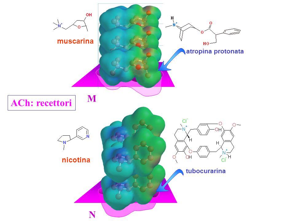 nicotina M N muscarina atropina protonata tubocurarina ACh: recettori