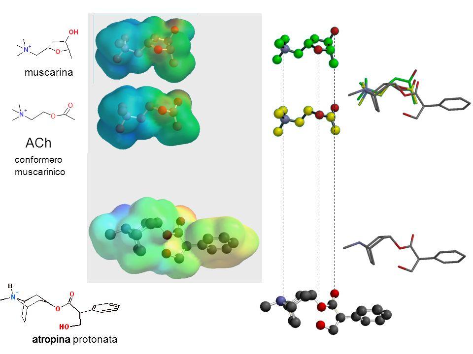 conformero muscarinico ACh N + O O muscarina atropina atropina protonata