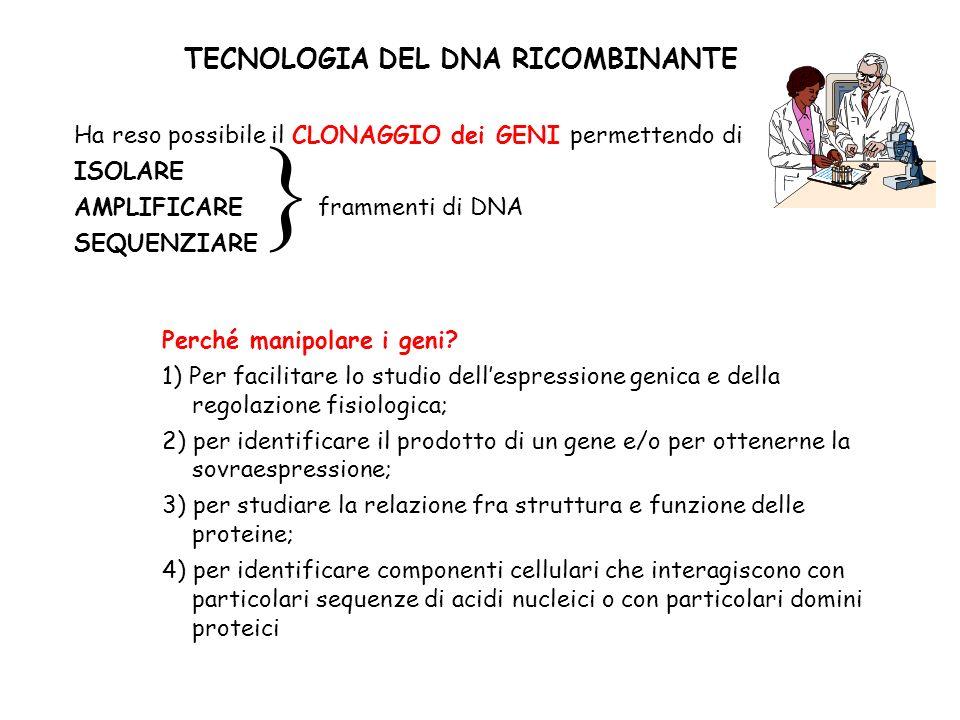 TECNOLOGIA DEL DNA RICOMBINANTE Ha reso possibile il CLONAGGIO dei GENI permettendo di ISOLARE AMPLIFICARE frammenti di DNA SEQUENZIARE Perché manipol
