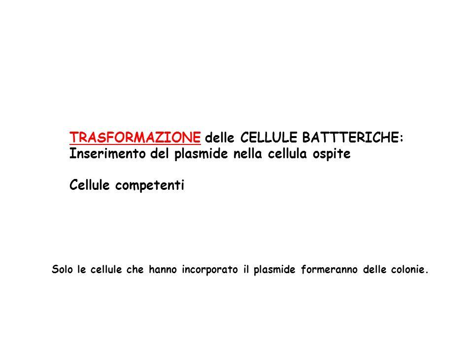 TRASFORMAZIONE delle CELLULE BATTTERICHE: Inserimento del plasmide nella cellula ospite Cellule competenti Solo le cellule che hanno incorporato il pl