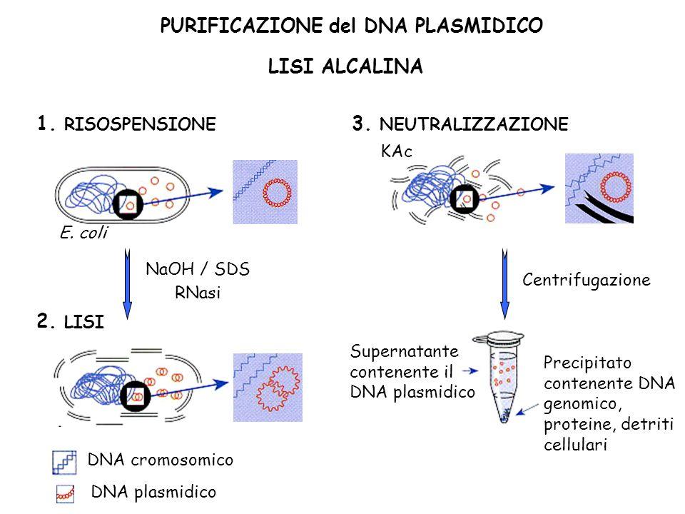 PURIFICAZIONE del DNA PLASMIDICO LISI ALCALINA 1. RISOSPENSIONE E. coli 2. LISI NaOH / SDS RNasi DNA cromosomico DNA plasmidico Centrifugazione 3. NEU