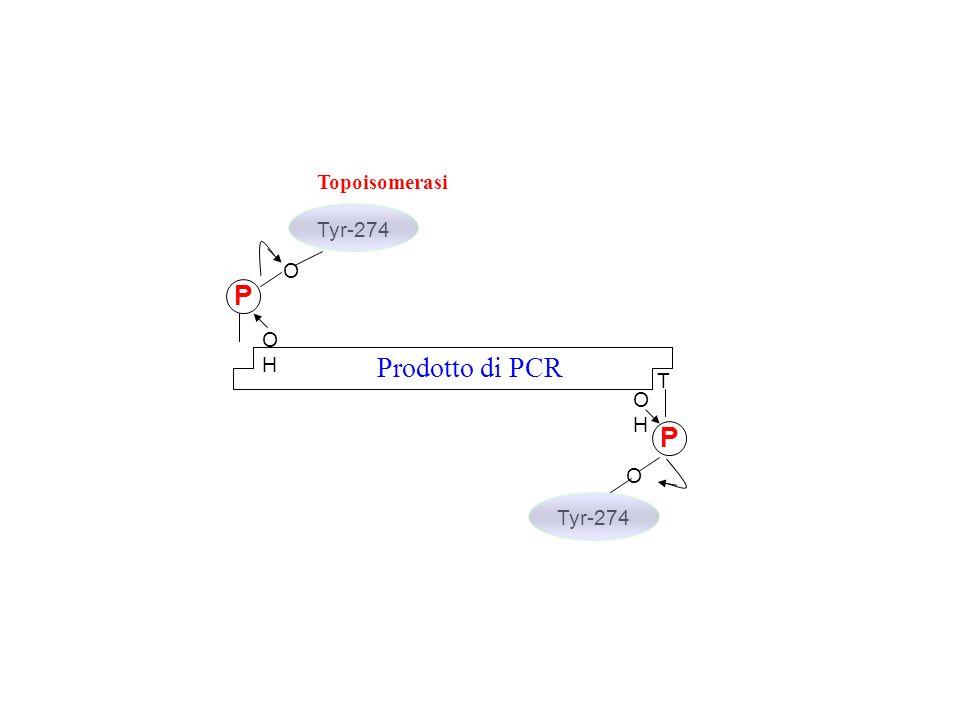 T Prodotto di PCR P OHOH O Tyr-274 Topoisomerasi P O Tyr-274 OHOH