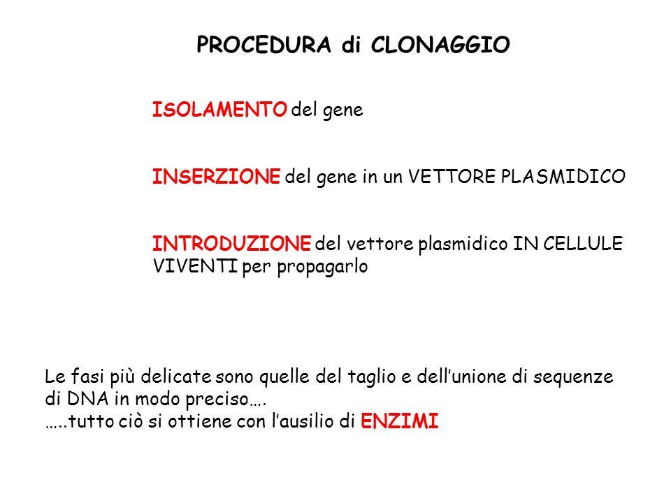 Cosa serve per un clonaggio Gene (DNA di interesse) Enzimi di restrizione DNA ligasi Vettore Cellula ospite