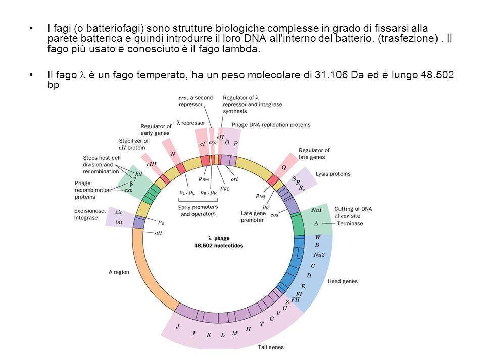 I fagi (o batteriofagi) sono strutture biologiche complesse in grado di fissarsi alla parete batterica e quindi introdurre il loro DNA all'interno del